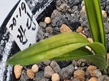 차세대 명품아될  특급 단엽반물