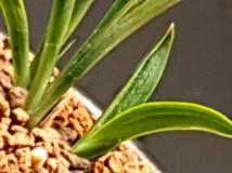 특급 서반 단엽 에호